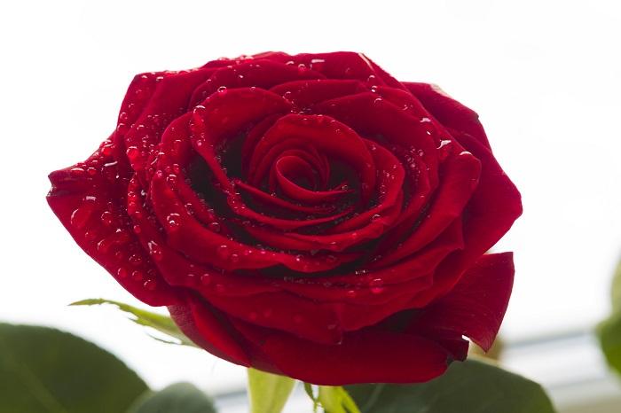 バラ(薔薇)の花言葉|バラ(薔薇)の種類、特徴、色別の花言葉 ...