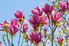 モクレン(木蓮)の花言葉|種類、特徴、色別の花言葉 | LOVEGREEN(ラブ ...