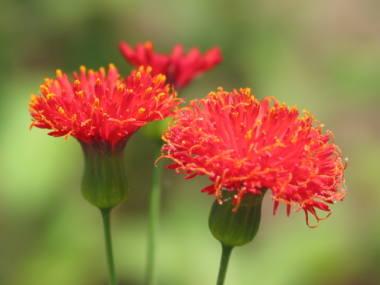 ベスト50+花 カカリア - 最高の花の画像