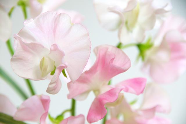 ピンクのスイートピーの無料写真素材 フリー