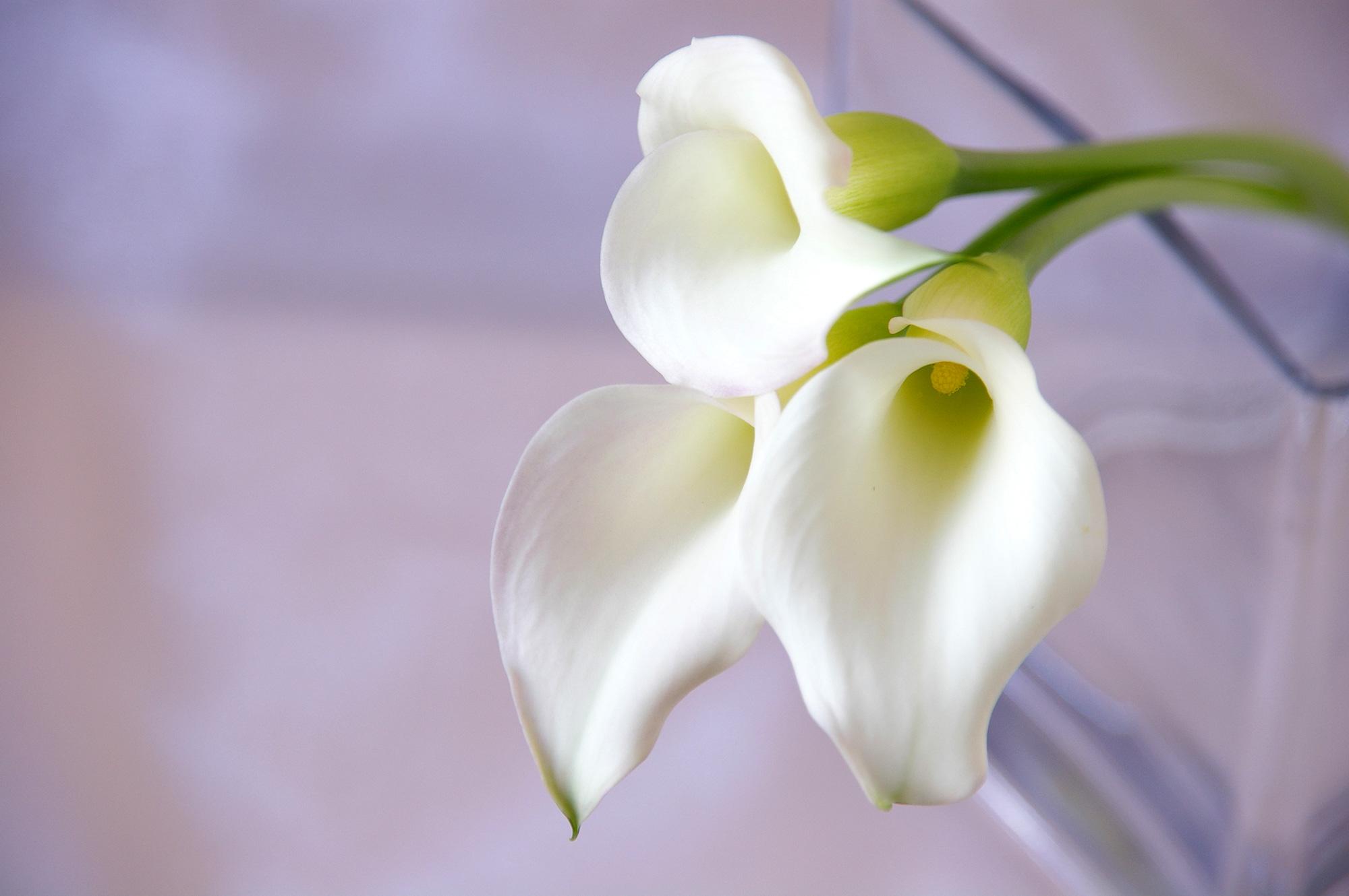 白いカラーの花の無料写真素材 フリー