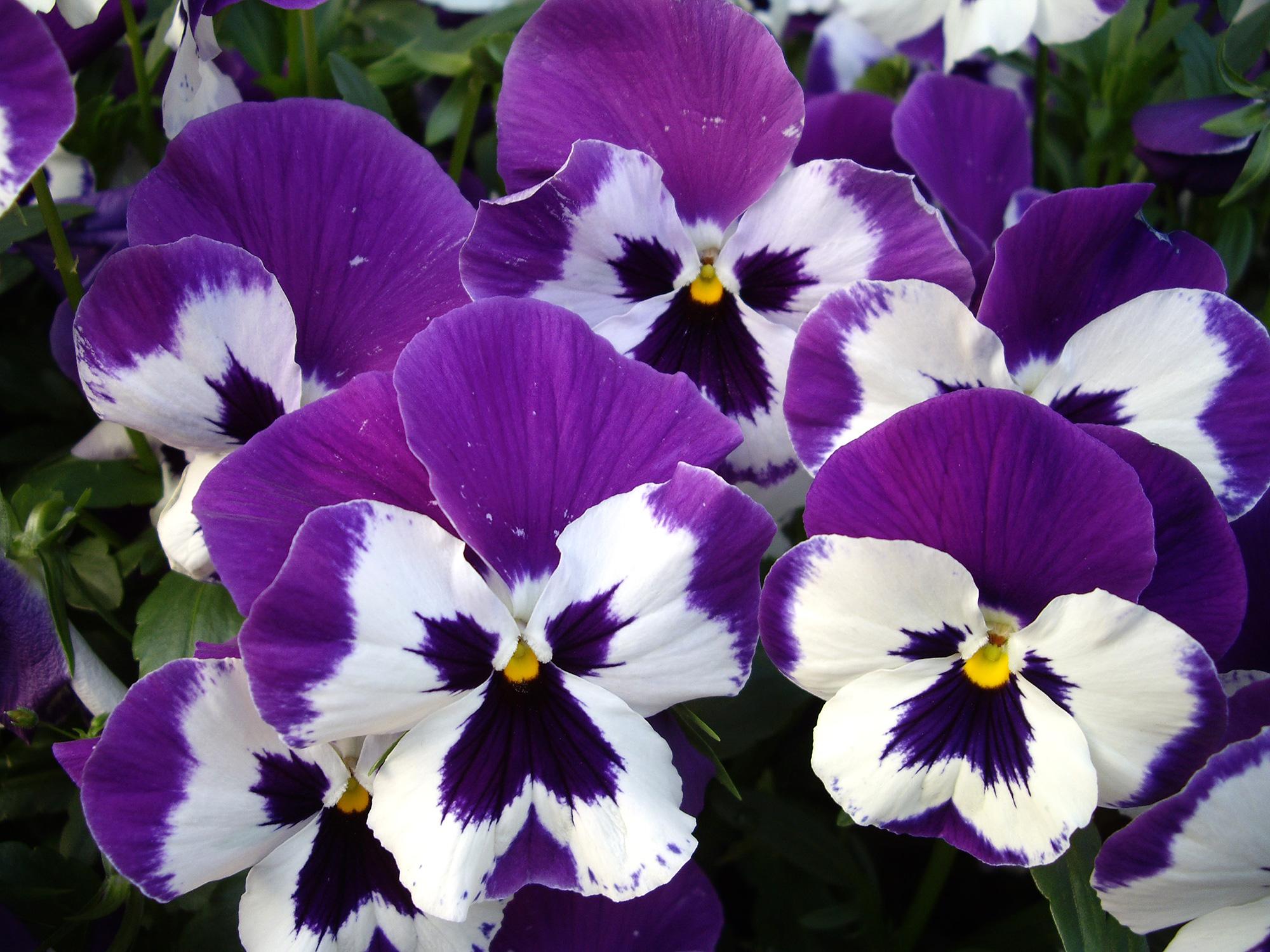 紫のパンジーの無料写真素材 フリー