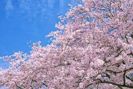 春空に咲き誇る満開の桜」の画像・写真素材を無料ダウンロード(1 ...
