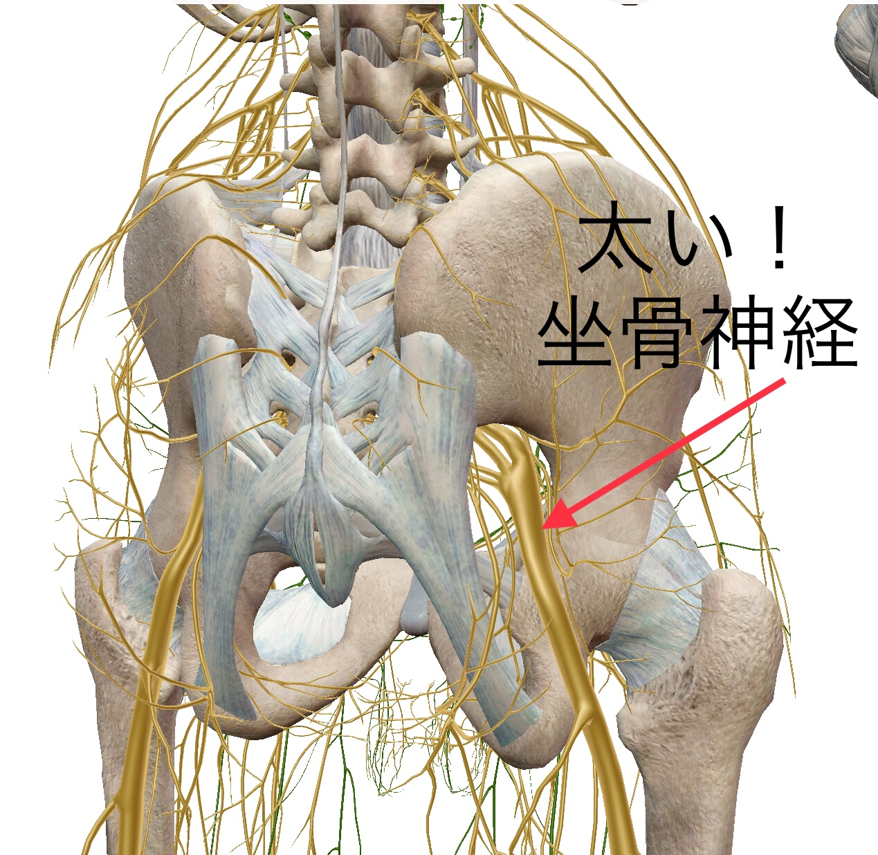 坐骨神経痛 | バイタルリアクトセラピー専門、大阪府豊中市の宮脇治療院