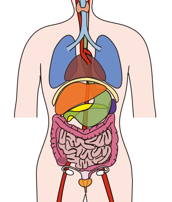 VOSのアプローチ 内臓バイオメカニクス|南青山のカイロプラクティック ...