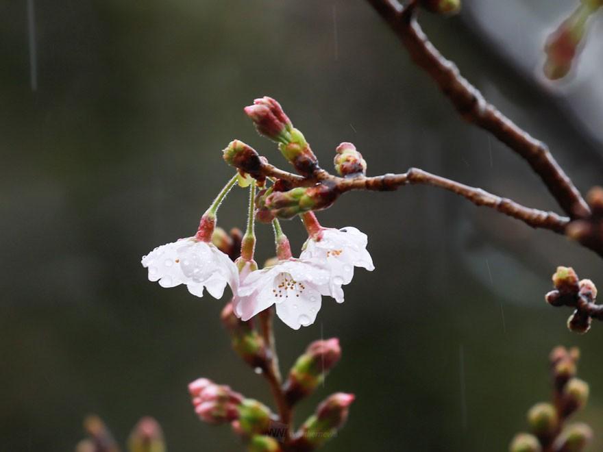 地球温暖化でソメイヨシノの開花遅れ? 今年の暖冬は「今世紀末並み ...