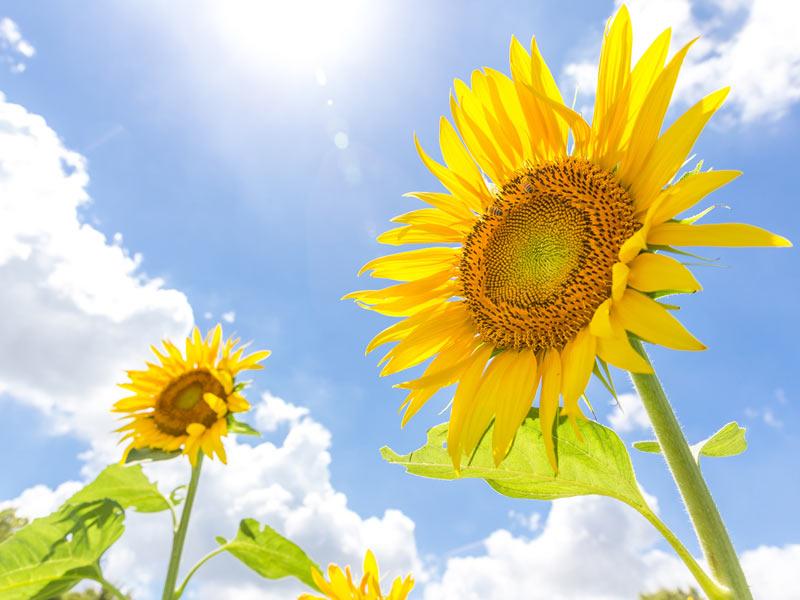 太陽を追いかけて動く「ひまわり」なのは花が咲くまで? - ウェザー ...