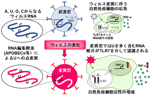 新型コロナウイルス変異型は自然免疫を活性化する R...   プレス ...