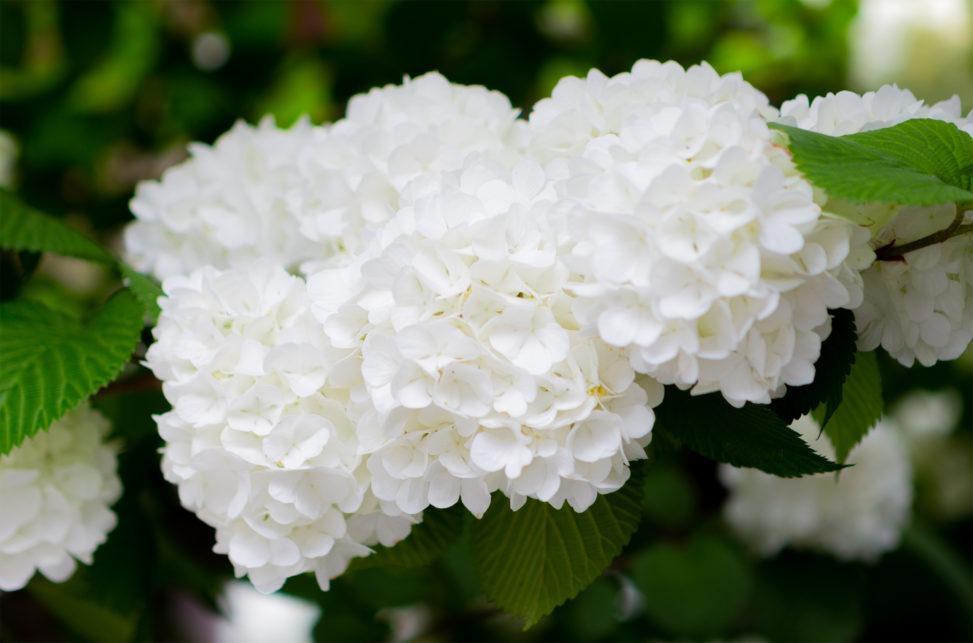 オオデマリの花02 | 無料の高画質フリー写真素材 | イメージズラボ