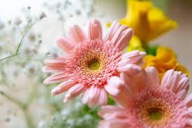 ピンク色のガーベラの花02 | 無料の高画質フリー写真素材 | イメージズラボ