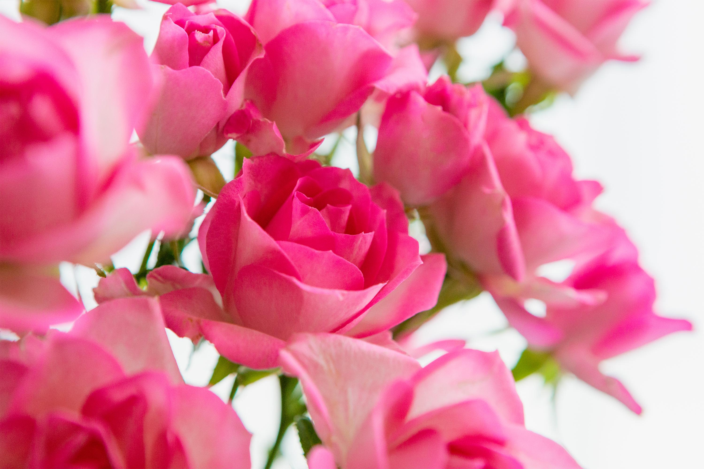 淡いピンク色のバラ(薔薇)の花   無料の高画質フリー写真素材 ...