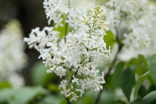 ライラックの花 画像 無料写真素材 フリー写真素材「花ざかりの森」