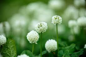 シロツメクサ(クローバー) 花 画像2枚 無料写真素材 フリー写真素材 ...