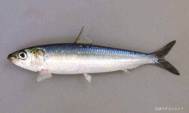 マイワシ | 魚類 | 市場魚貝類図鑑