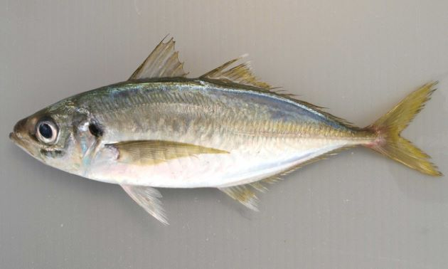 マアジ | 魚類 | 市場魚貝類図鑑