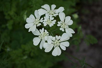 Amazon | オルレア ホワイトレース 種子 50粒 | 花