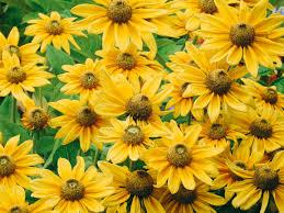 ルドベキア・プレーリーサンの花の写真を無料ダウンロード(フリー素材 ...