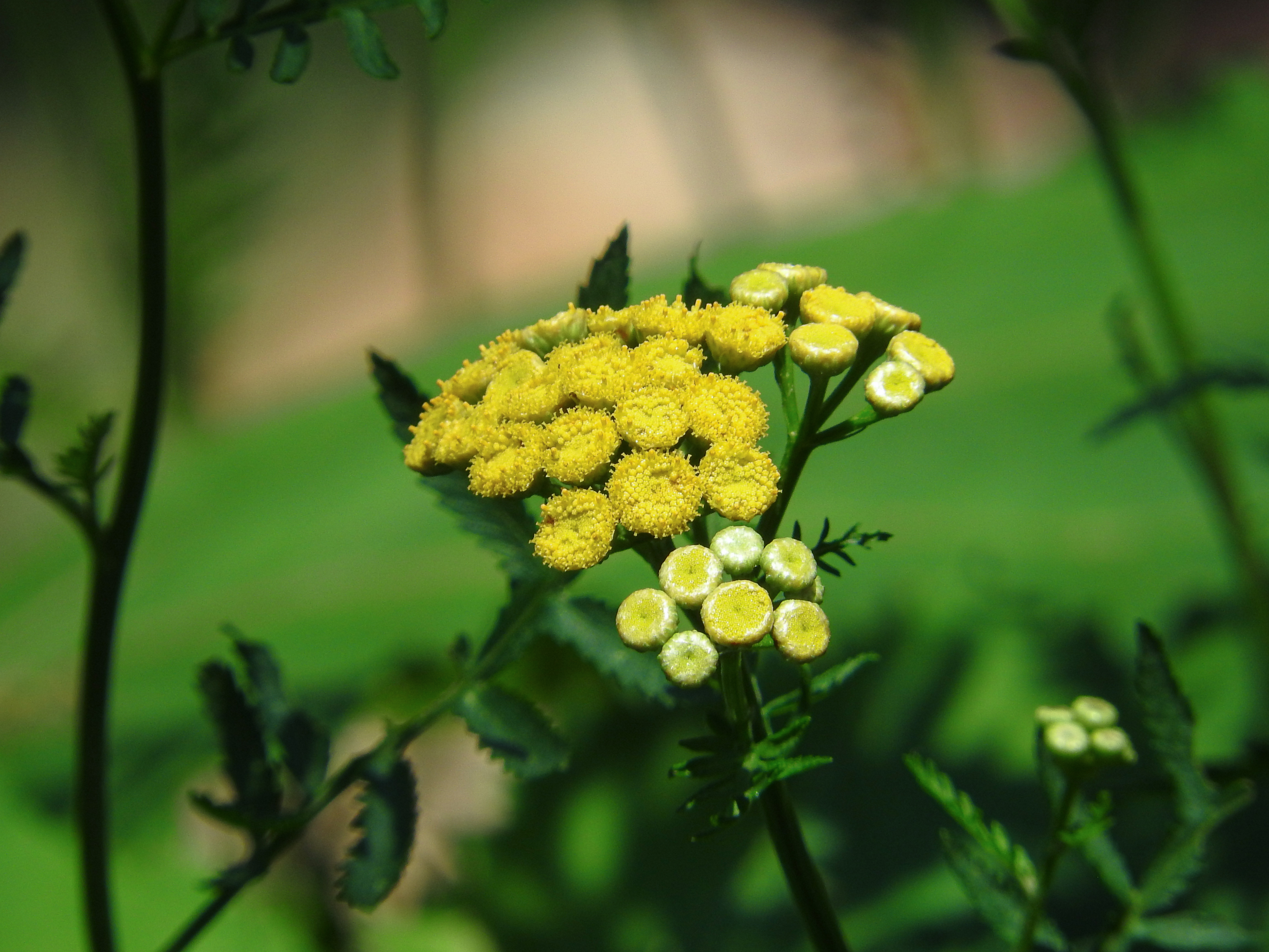 色鮮やかな黄色の花タンジーの写真を無料ダウンロード(フリー素材 ...