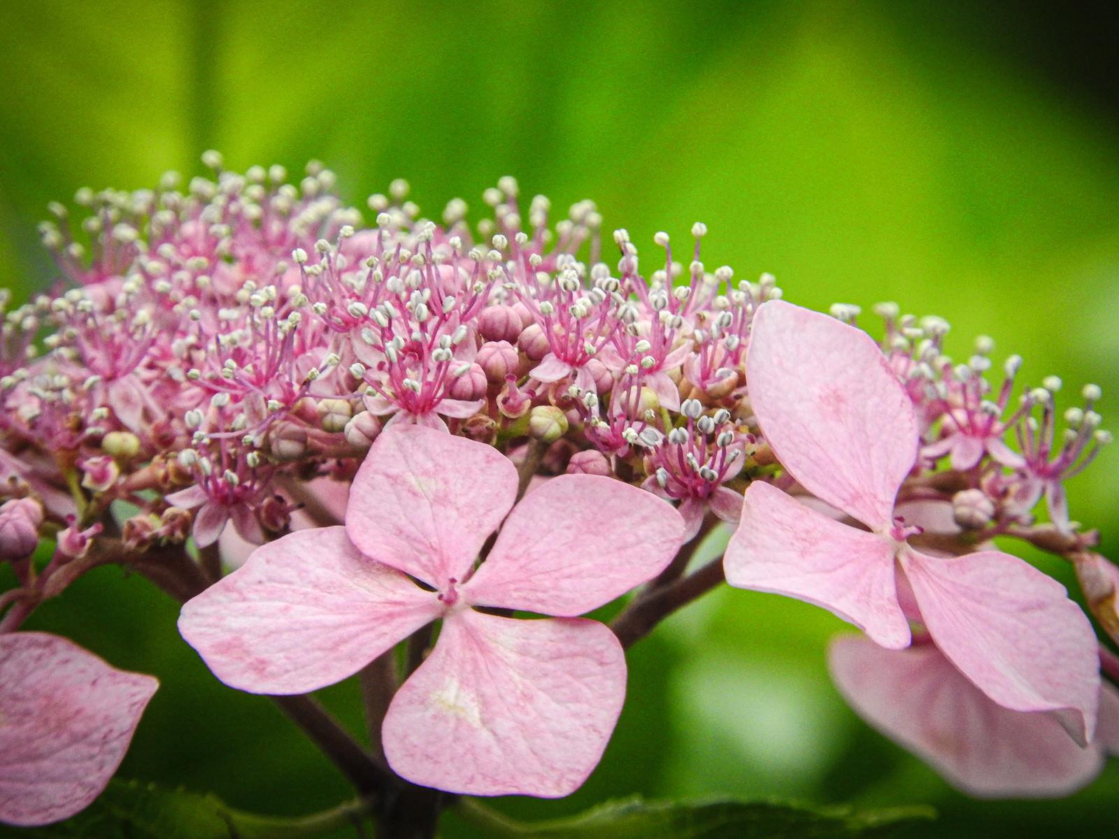 ピンクのガクアジサイの花の写真(画像)を無料ダウンロード - フリー ...