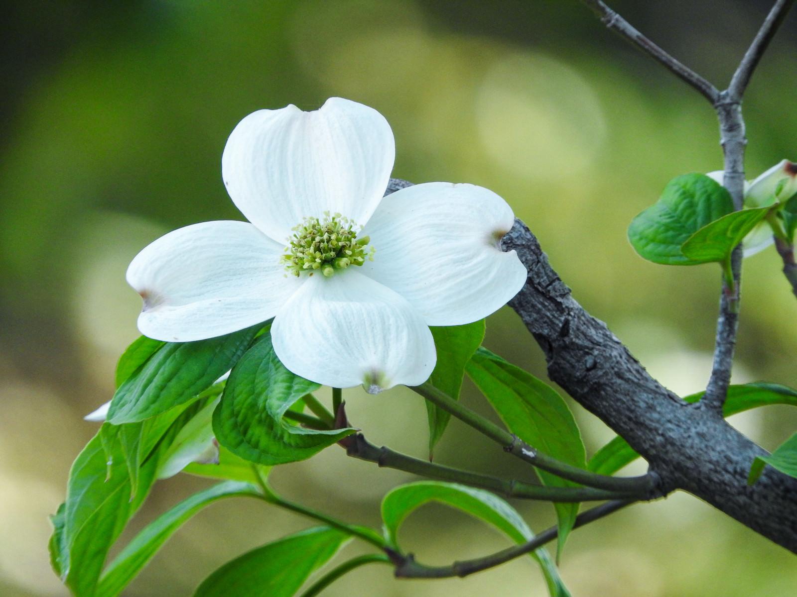 白いハナミズキの花の写真(画像)を無料ダウンロード - フリー素材の ...