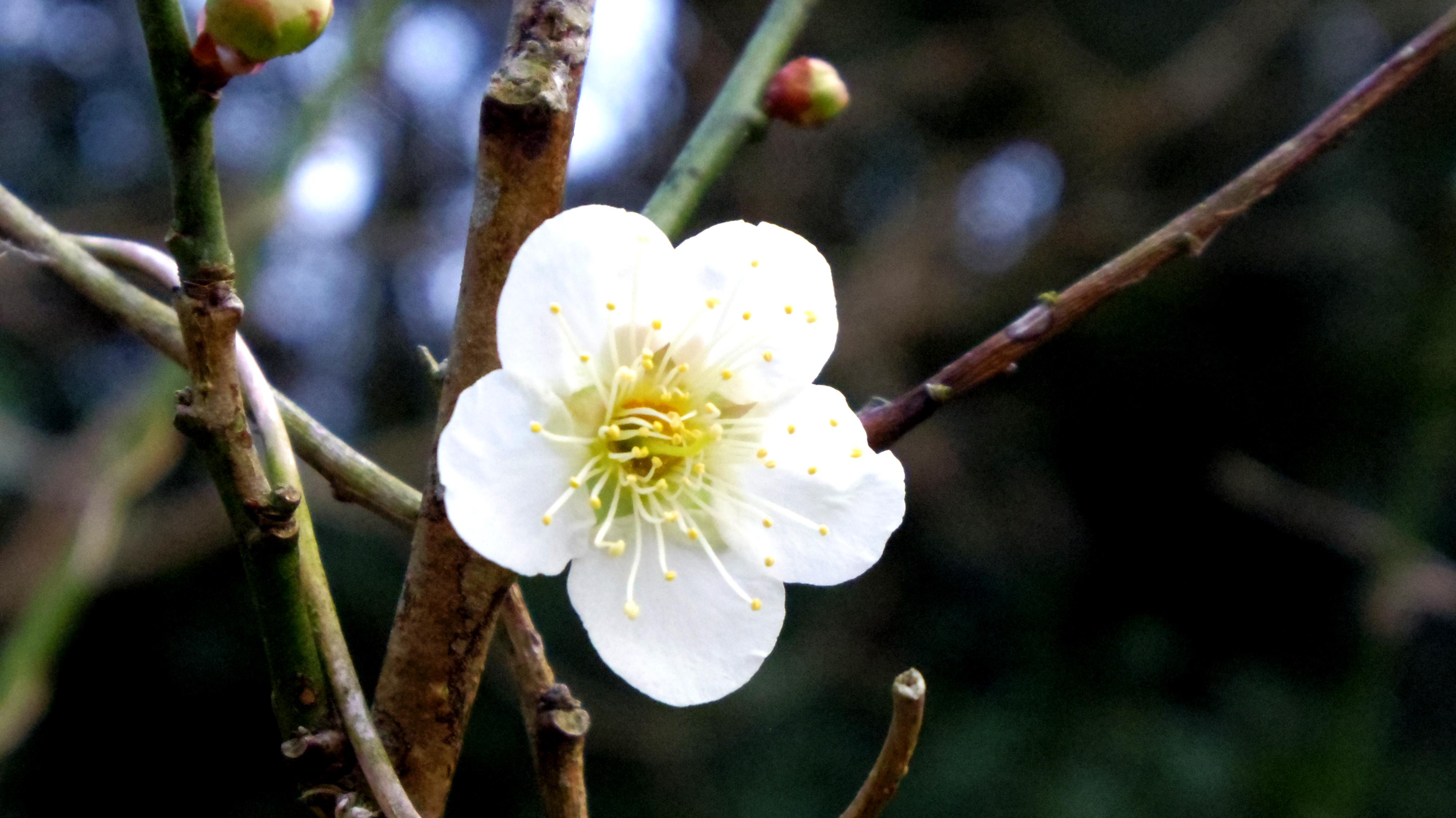 梅, 白, 花の無料の写真素材
