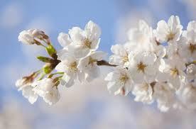 2019年桜開花予想!来週は関東や九州北部などで桜開花(3/12時点 ...