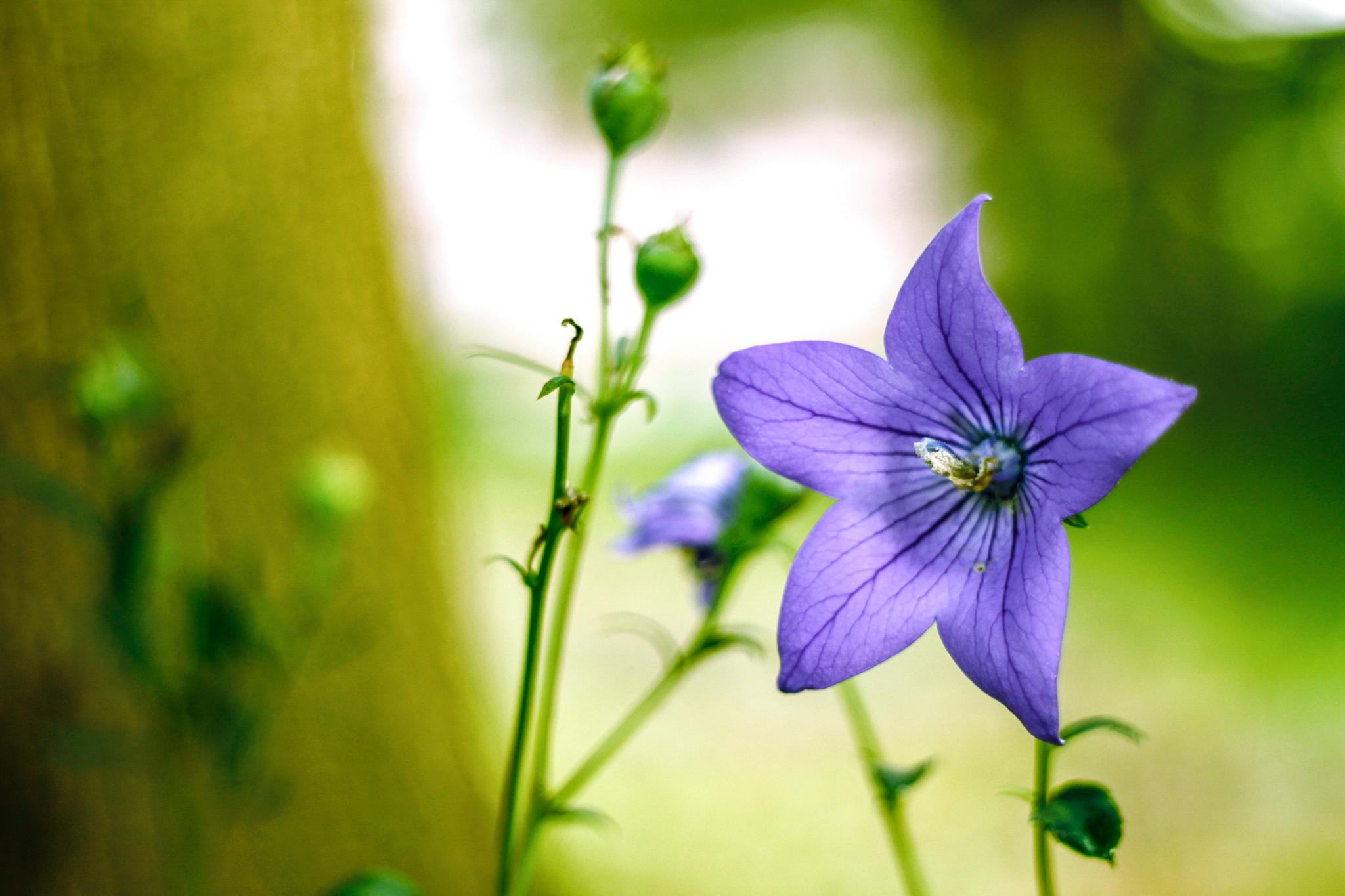 野生の桔梗 – フリー(無料)写真素材 ダウンロード blue-green