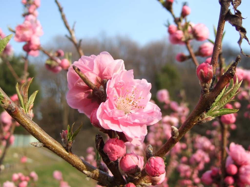 モモ(桃)の花 無料フリー写真素材