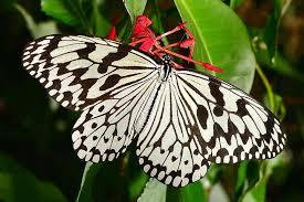 沖縄県の蝶「オオゴマダラ」について/沖縄県