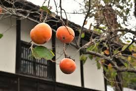 カキ(柿) - 庭木図鑑 植木ペディア