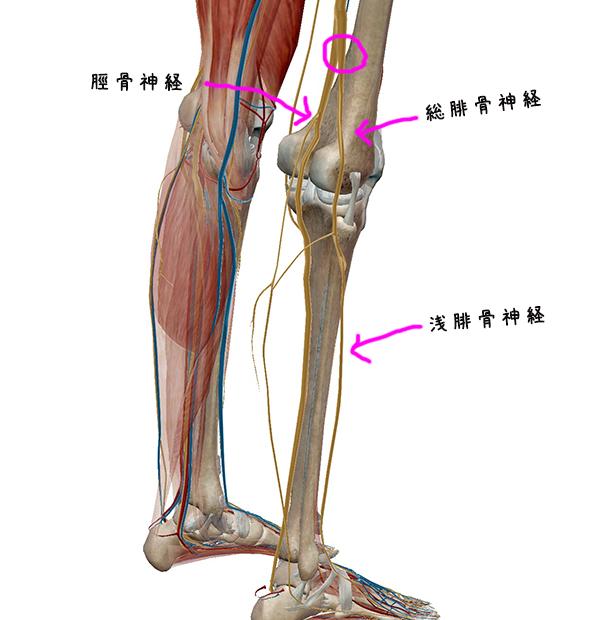 坐骨神経痛の原因と神経の走行の覚え方。 | ゴローの解剖生理学勉強法