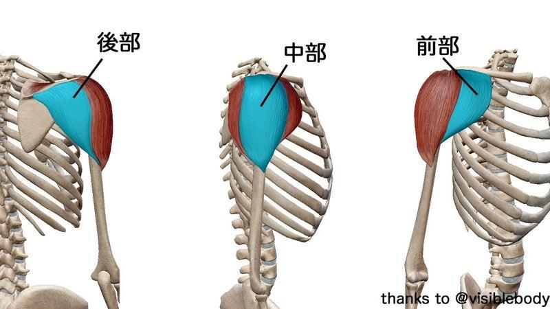 三角筋前部・中部・後部】メロンのような肩の作り方【筋トレ解剖学 ...