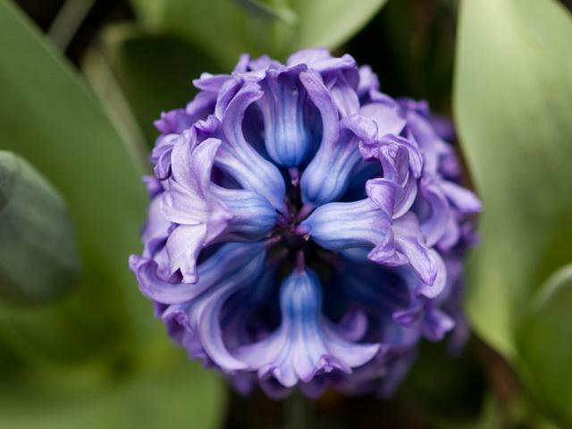 ヒヤシンス | 季節の花[淀]フリー写真素材
