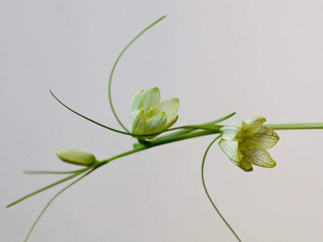 貝母(ばいも)   季節の花[淀]フリー写真素材 - Part 3