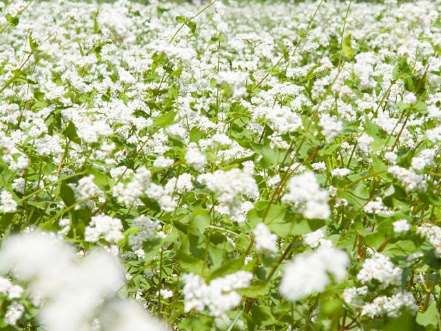 蕎麦(そば) | 季節の花[淀]フリー写真素材