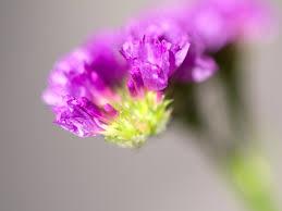 スターチス | 季節の花[淀]フリー写真素材