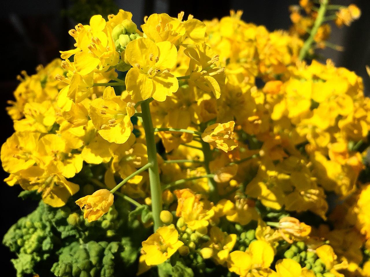 なのはな | 季節の花[淀]フリー写真素材