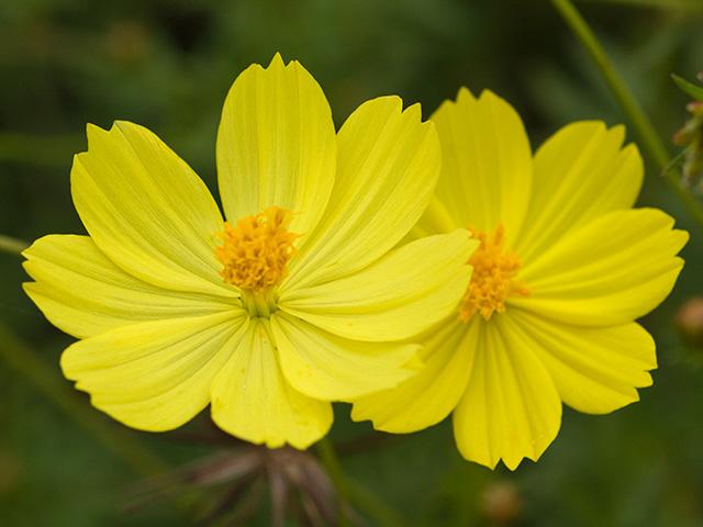黄花コスモス(きばなコスモス) | 季節の花[淀]フリー写真素材