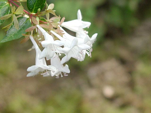 アベリア | 季節の花[淀]フリー写真素材