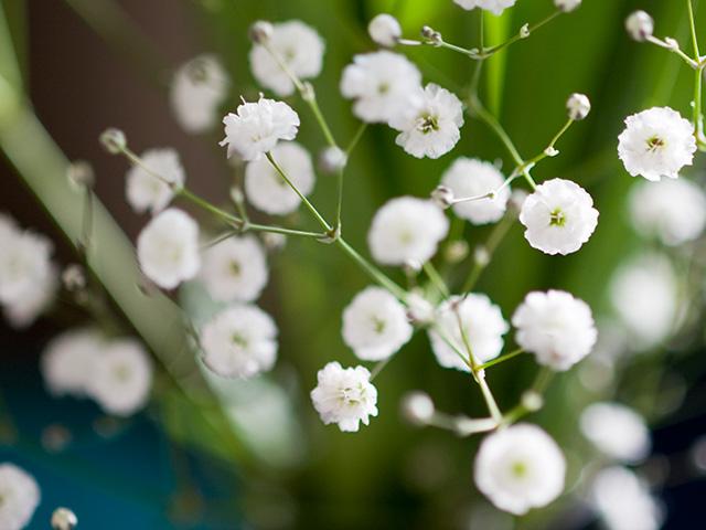 かすみそう | 季節の花[淀]フリー写真素材 - Part 2