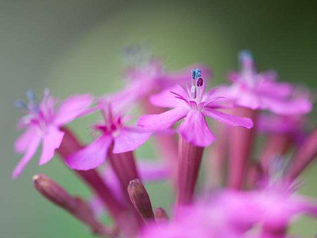 ムシトリナデシコ | 季節の花[淀]フリー写真素材