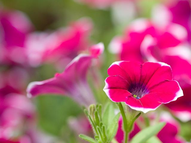 ペチュニア | 季節の花[淀]フリー写真素材
