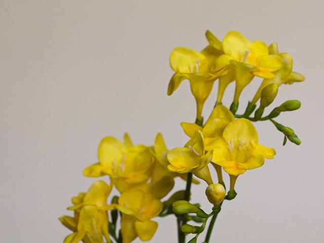 フリージア | 季節の花[淀]フリー写真素材