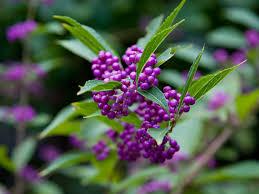 紫式部   季節の花[淀]フリー写真素材