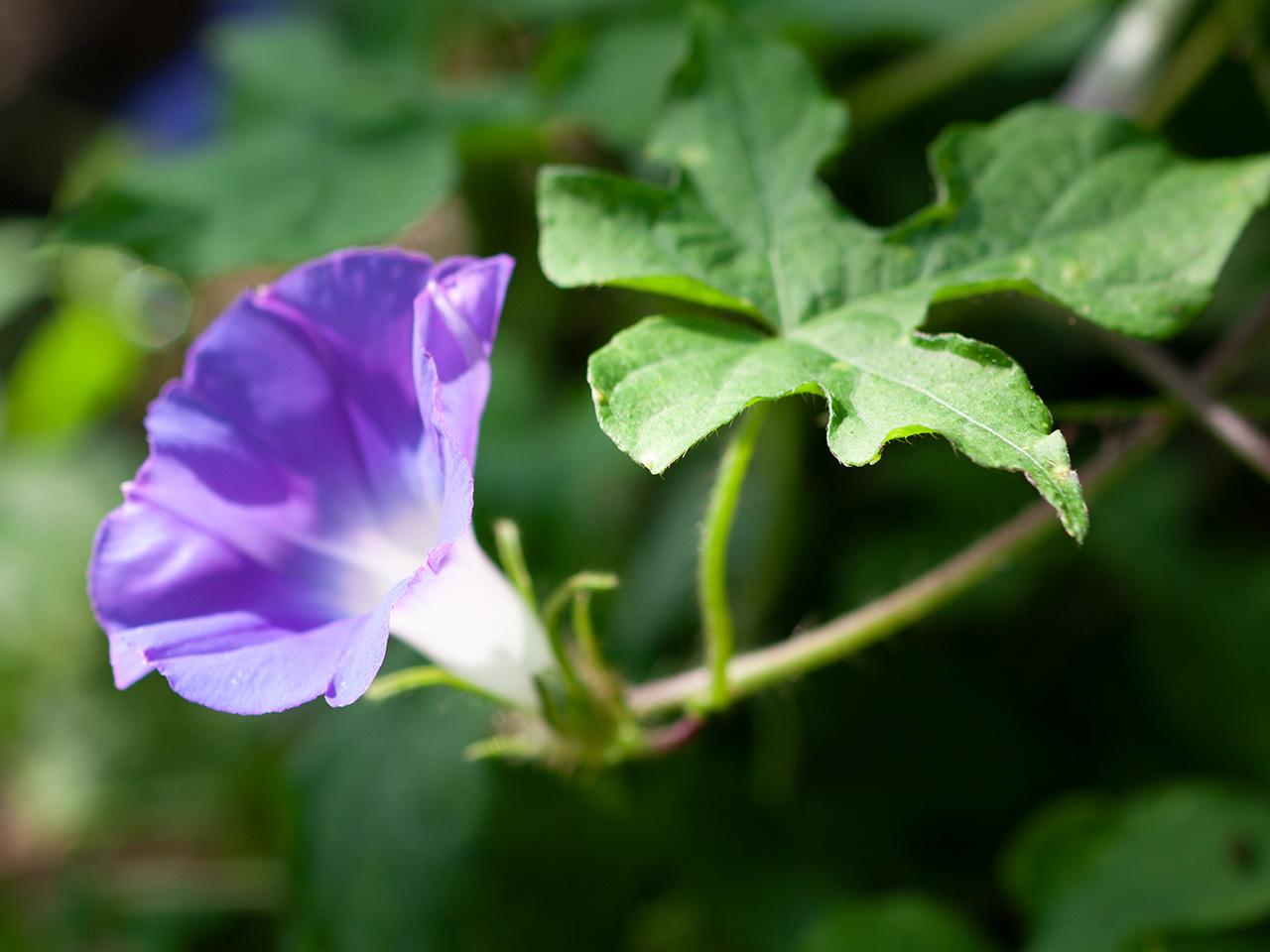 朝顔(アサガオ)   季節の花[淀]フリー写真素材