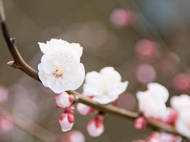 アンズ | 季節の花[淀]フリー写真素材