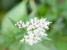 フジバカマ | 季節の花[淀]フリー写真素材