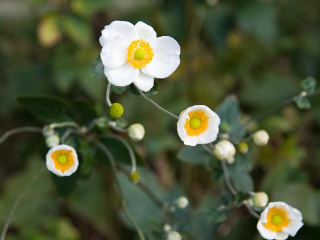 シュウメイギク | 季節の花[淀]フリー写真素材
