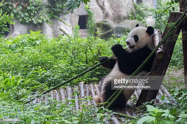 250点の成都大熊猫繁育研究基地のストックフォト - Getty Images