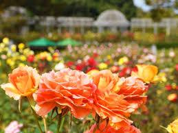 香り豊かな「秋バラ」150品種・約350株の開花予想、2019年は10月上旬 ...